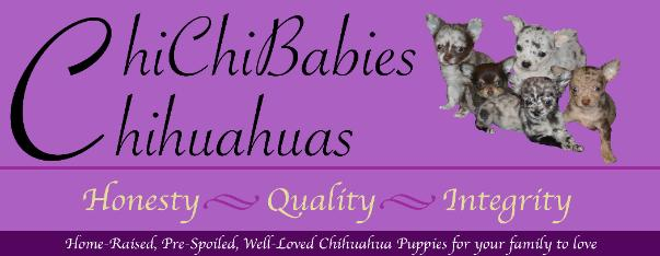 Chihuahua Puppies For Sale Chihuahua Breeder